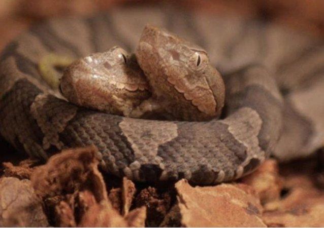 德国现罕见双头蛇