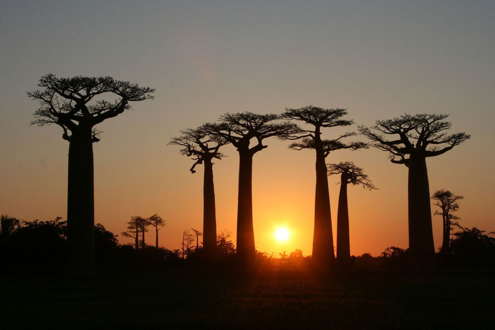 馬達加斯加梅納貝區穆龍達瓦和貝盧-齊里比希納小鎮之間的猴麵包樹大道