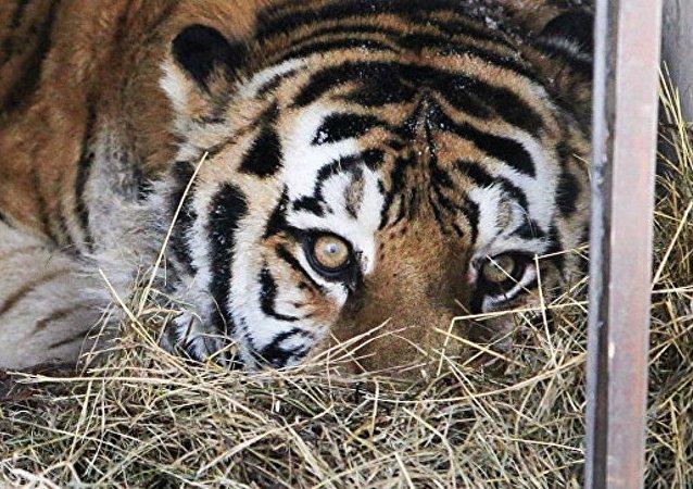 俄滨海边疆区抓走边防公务犬的老虎或因年老无法捕猎