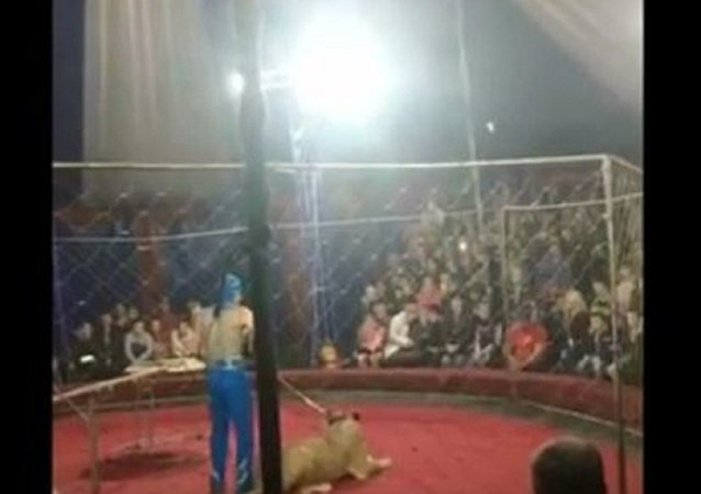 一名4歲的俄羅斯小女孩遭到馬戲團母獅攻擊