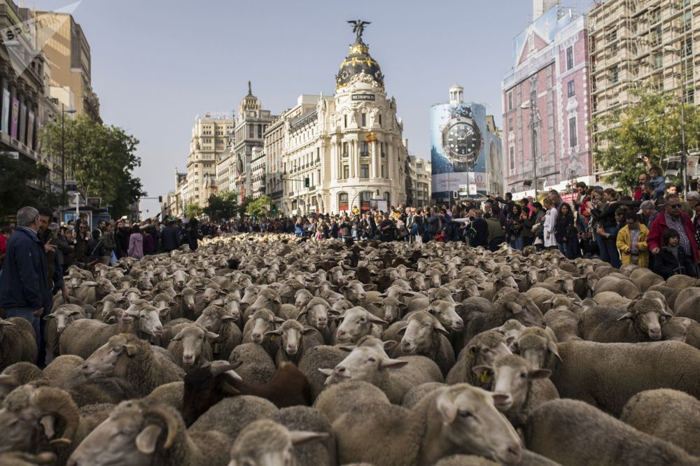 西班牙牧羊人趕著1500只羊穿過馬德里市中心街道。