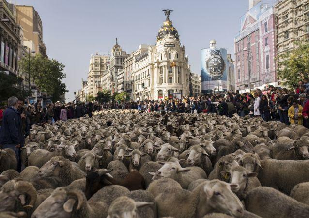 西班牙牧羊人赶着1500只羊穿过马德里市中心街道。