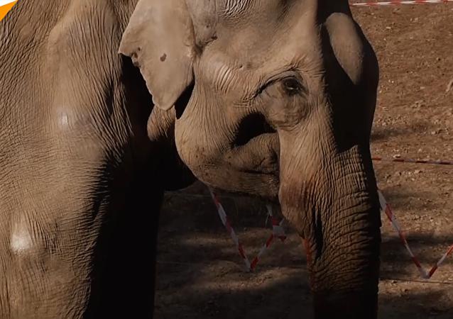 大象做拔牙手術