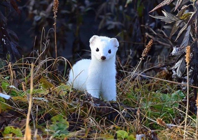 俄堪察加拍到白鼬如何改变毛色
