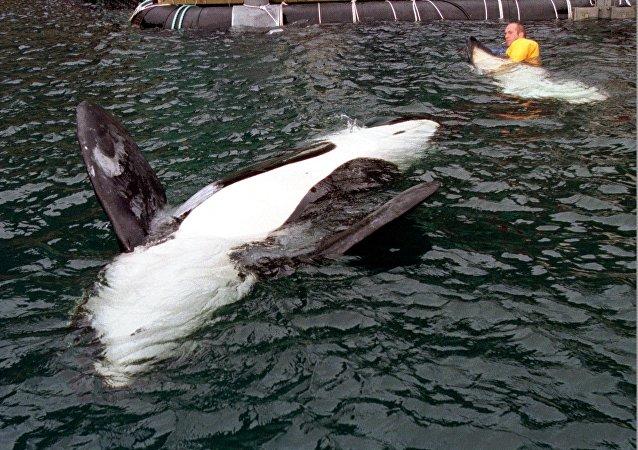 俄檢方正覈實有關虎鯨或被運出濱海邊疆區海灣消息