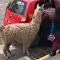 駝羊坐的士搞笑視頻