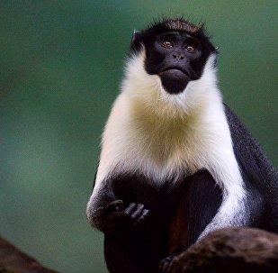 戴安娜长尾猴