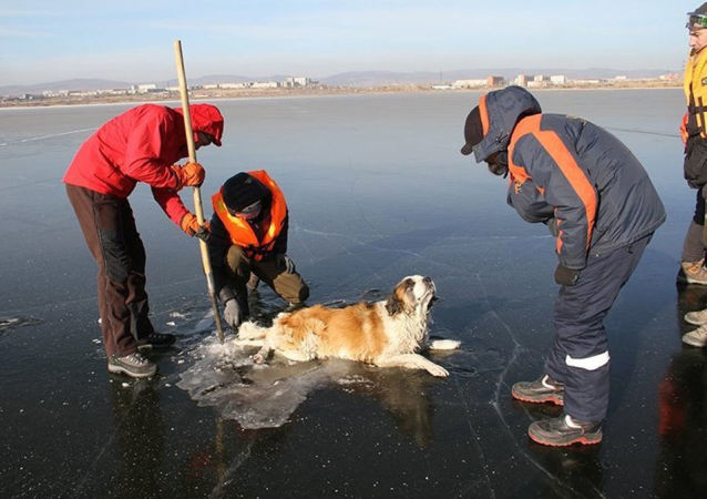 外贝加尔冻在湖中的狗得救
