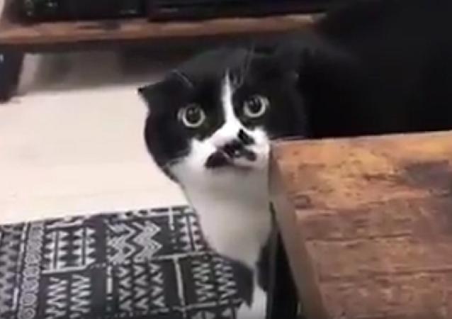 """猫咪唱""""格鲁吉亚歌"""" 是要成精了吗"""