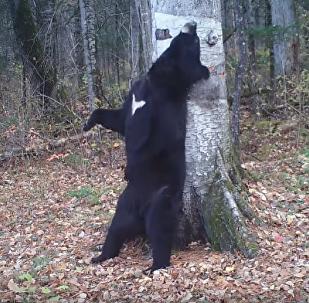 俄濱海邊疆區「跳舞的熊」成電影主角啦!