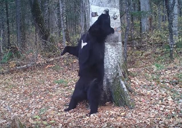 """俄滨海边疆区""""跳舞的熊""""成电影主角啦!"""