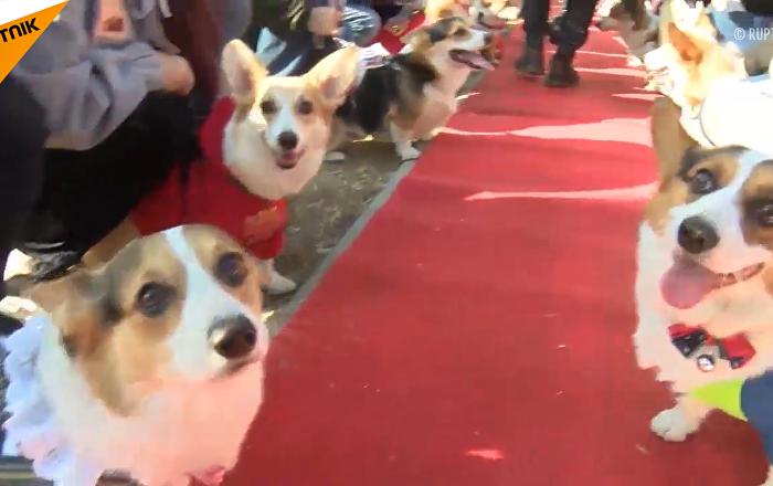 狗狗大赛:百余柯基在北京比赛