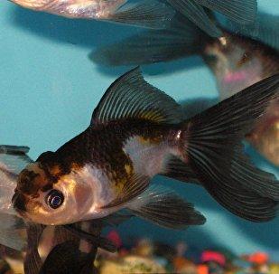 恐怖金鱼吓到网友:这简直是切尔诺贝利黑莓!