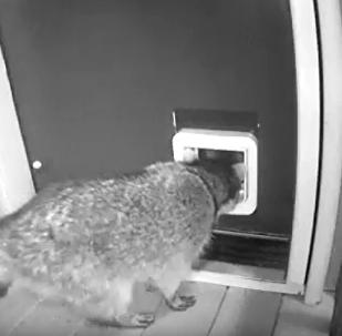 浣熊试图进屋被猫揍
