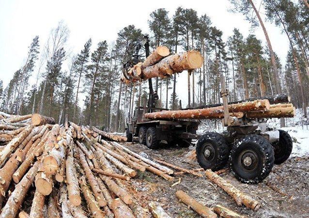 俄西伯利亚查获一起木材走私案 涉案金额超6亿卢布