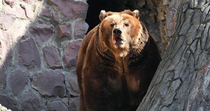 大棕熊誤闖警局
