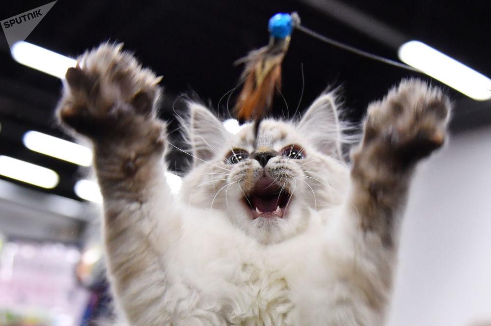 KoShariki貓展上的貓