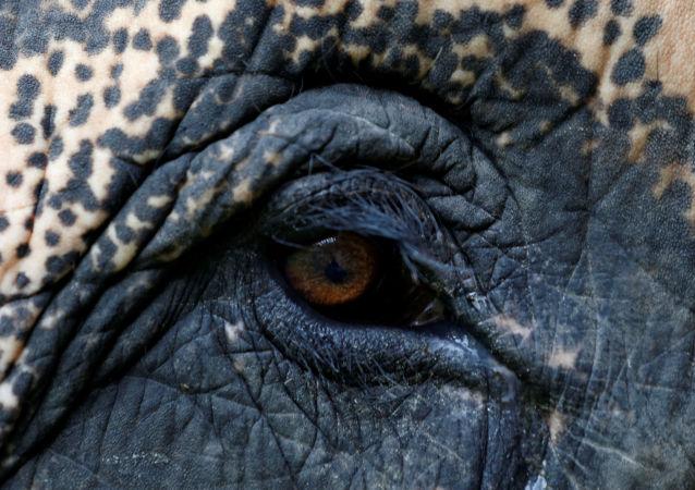 印度大象用象鼻把一熟睡女孩拖出屋子踩踏至死