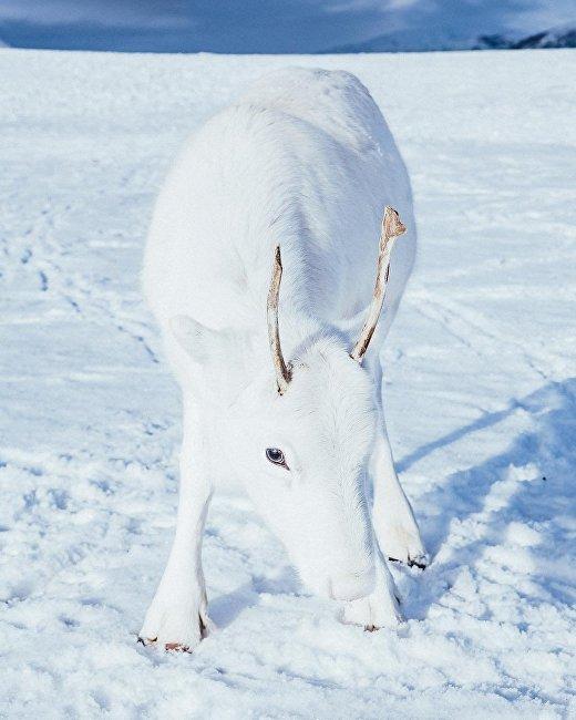 摄影师在挪威拍到一头独特的白鹿