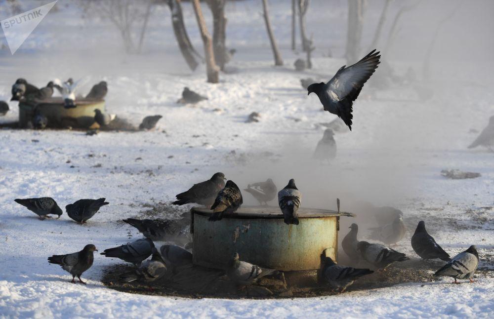 鴿子在新西伯利亞市供熱網的井蓋上取暖