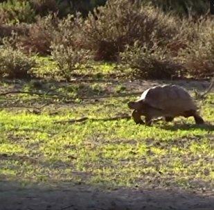 狮子攻击乌龟失败的视频被拍下