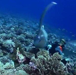 鯊魚用牙扯下潛水員面具
