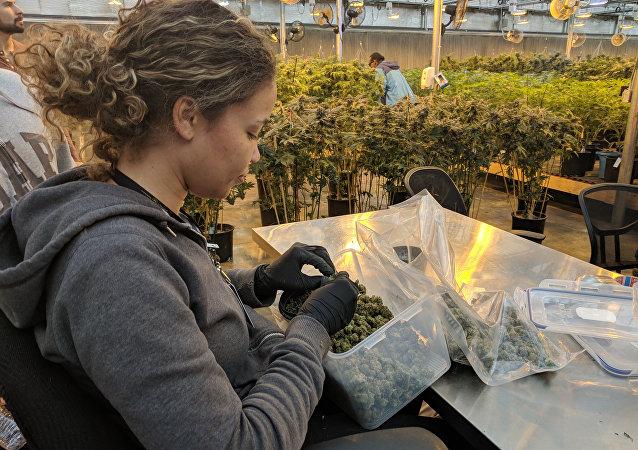 医用大麻(资料图片)