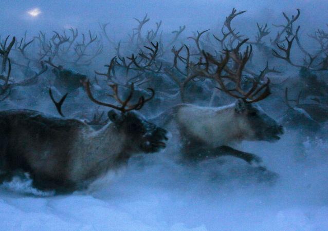 科学家确认叶尼塞驯鹿群完全灭绝