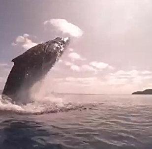 實拍小鯨魚跳水
