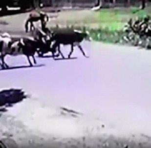 奶牛踢倒電單車手