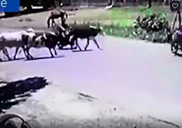 奶牛踢倒电单车手