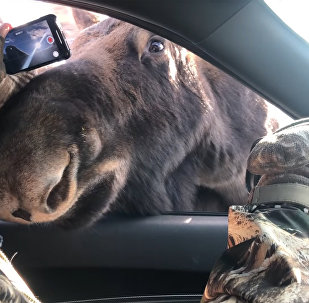 """美国拍到两只""""想与人类交朋友的""""驼鹿"""