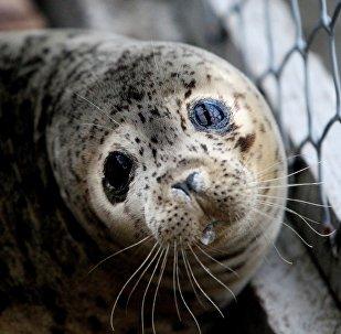 滨海边疆区居民解救一头浮冰上呜咽的幼海豹(视频)
