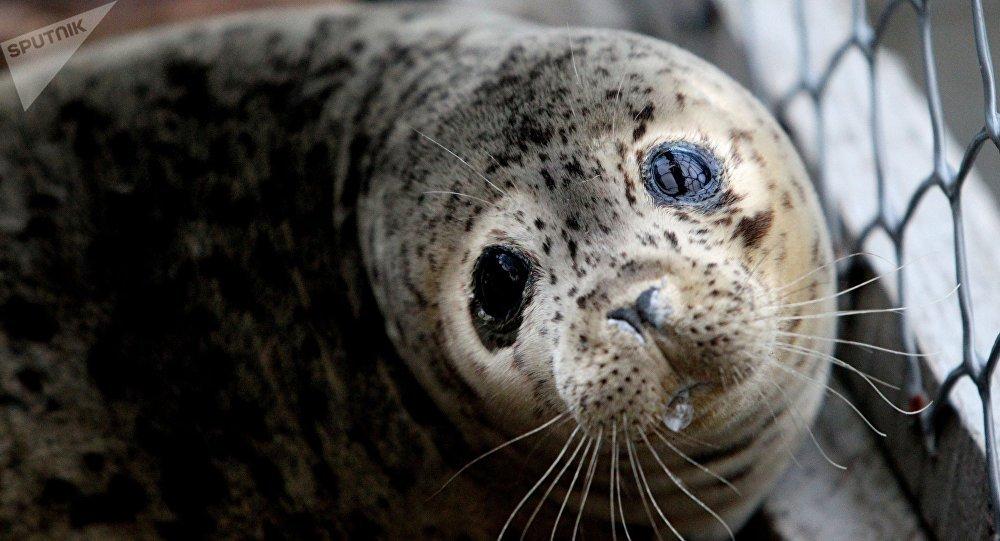 濱海邊疆區居民解救一頭浮冰上嗚咽的幼海豹(視頻)