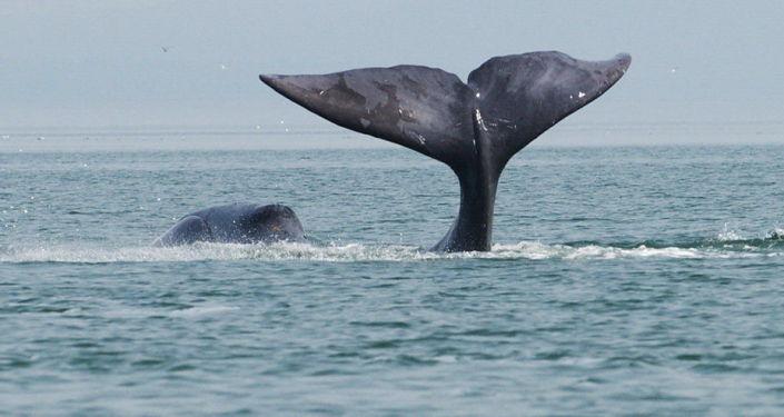 绿色和平组织:日本恢复商业捕鲸与国际社会背道而驰