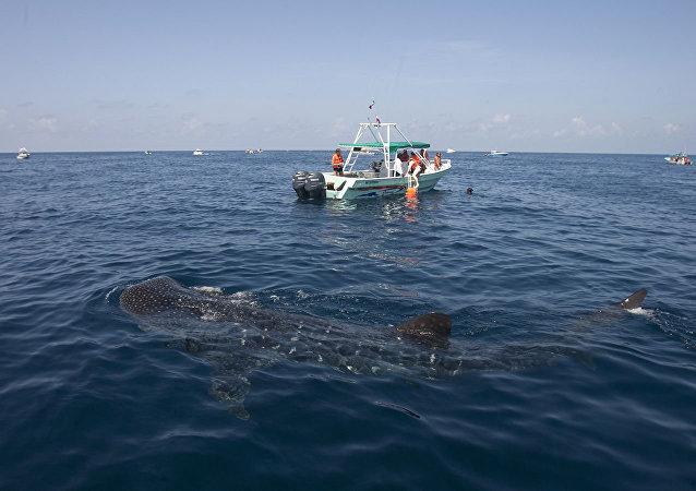 美國佛羅里達漁民拍到鯨鯊