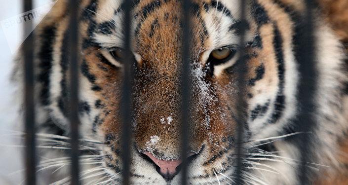 俄滨海边疆区叼走边防军犬的老虎已被捕获