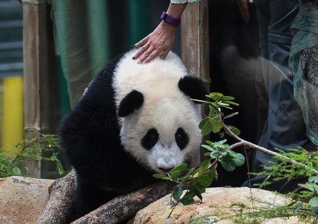 馬哈蒂爾仍是中馬「熊貓外交」的支持者