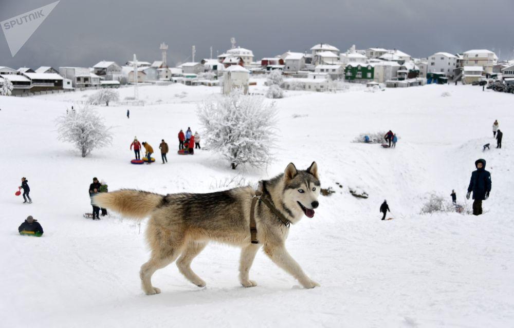 克里米亚艾-彼得高原上的一只狗