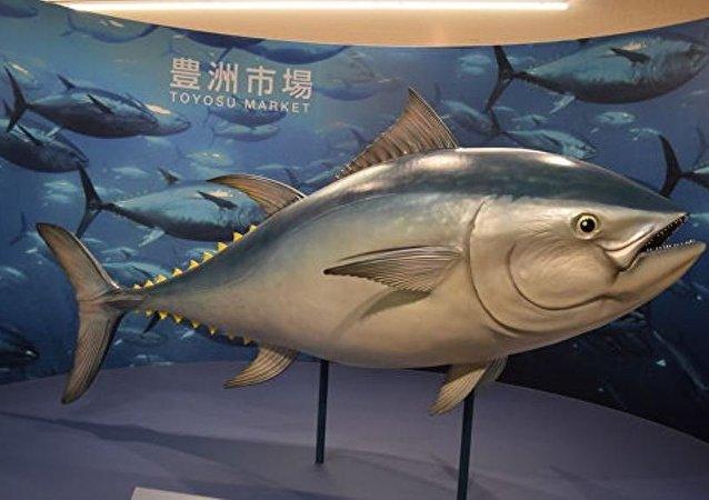 东京拍卖会上一条金枪鱼拍出310万美元高价