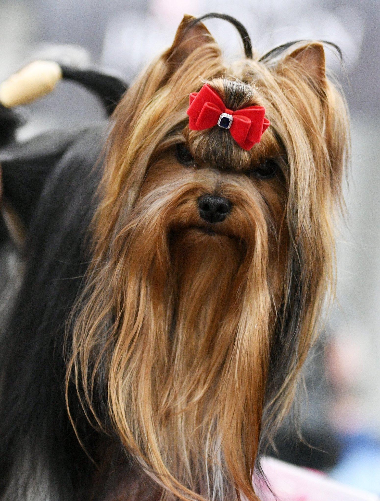 约克夏犬:俄罗斯最流行的品种之一