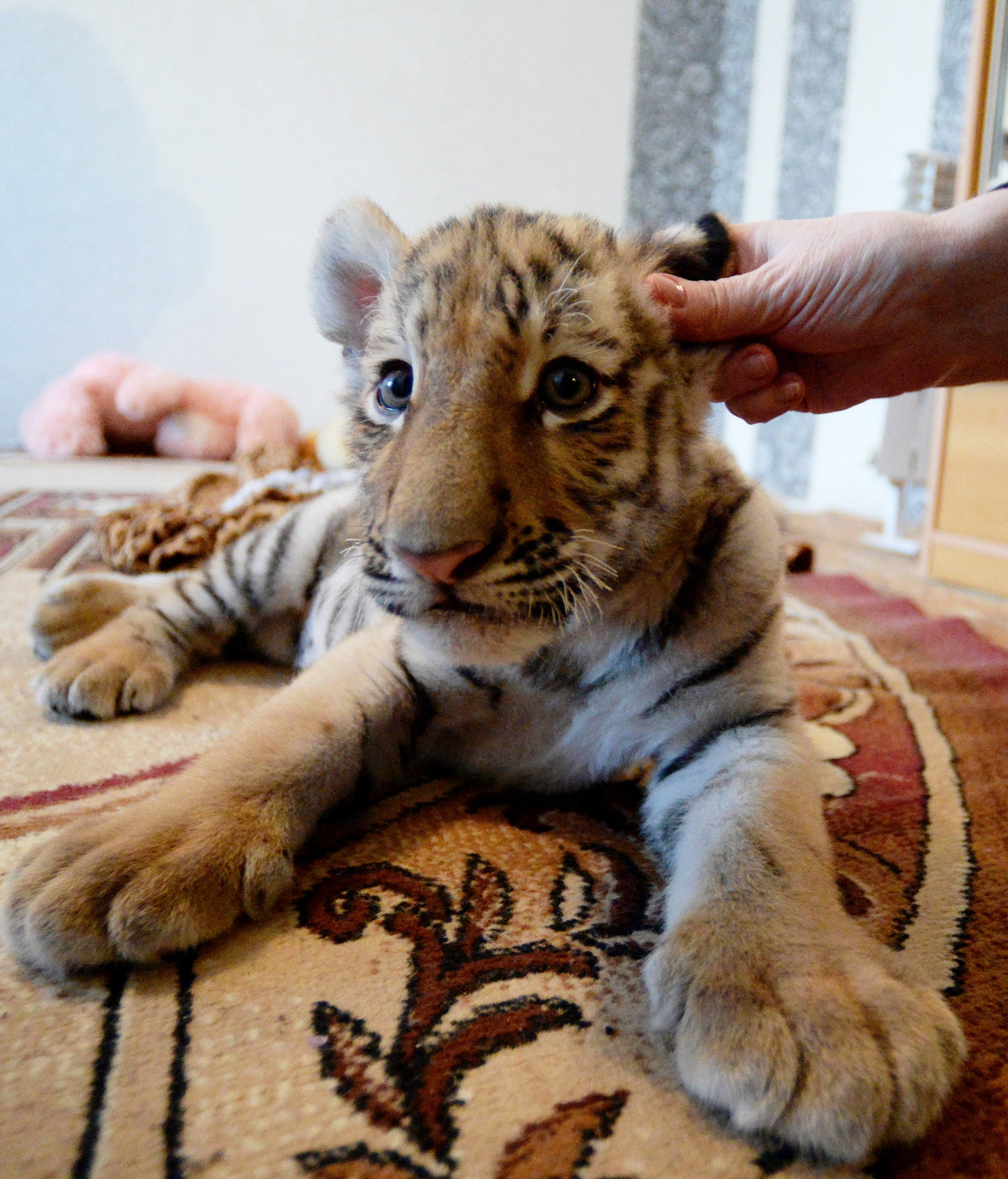 """老虎,可不是""""沙发""""动物,虎仔也是猛兽"""