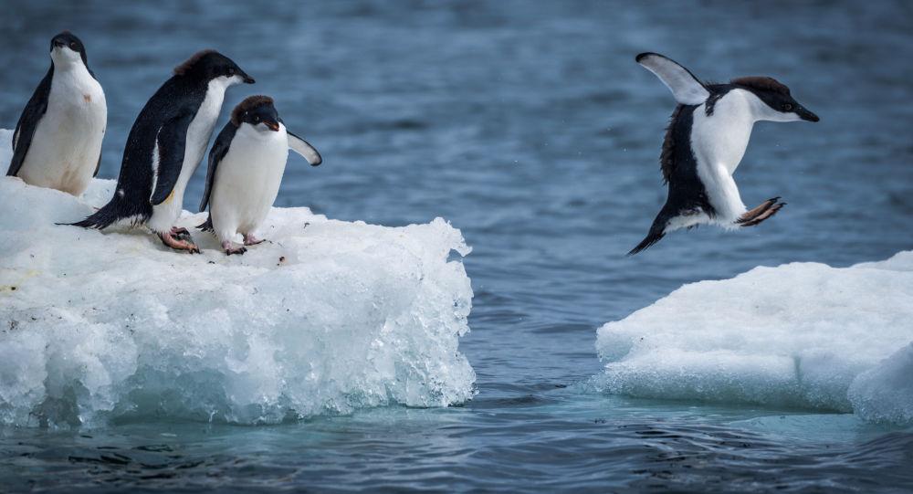 成功逃离浮冰的企鹅成为网红