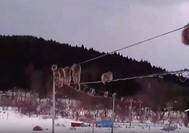 """沿着电线""""行走""""的日本猕猴爆红网络"""