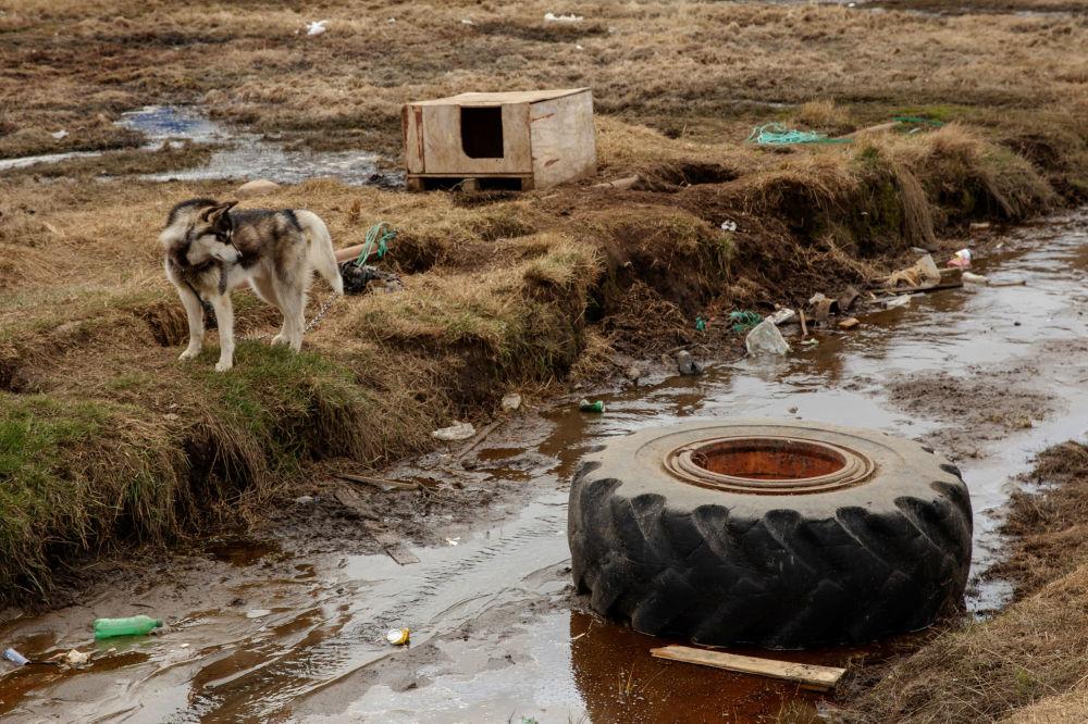 狗在自己的狗捨旁,塔西拉克鎮,格陵蘭島