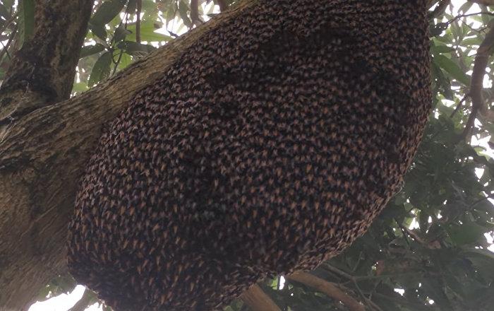 超大蜜蜂催眠掠食者
