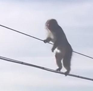 机智的猴子利用架设的电话线穿过雪地