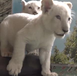 兩只白獅運抵符拉迪沃斯托克