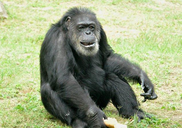 名叫約翰的的黑猩猩