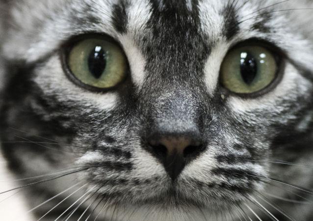 澳大利亞不顧抗議欲殺死百萬只野貓